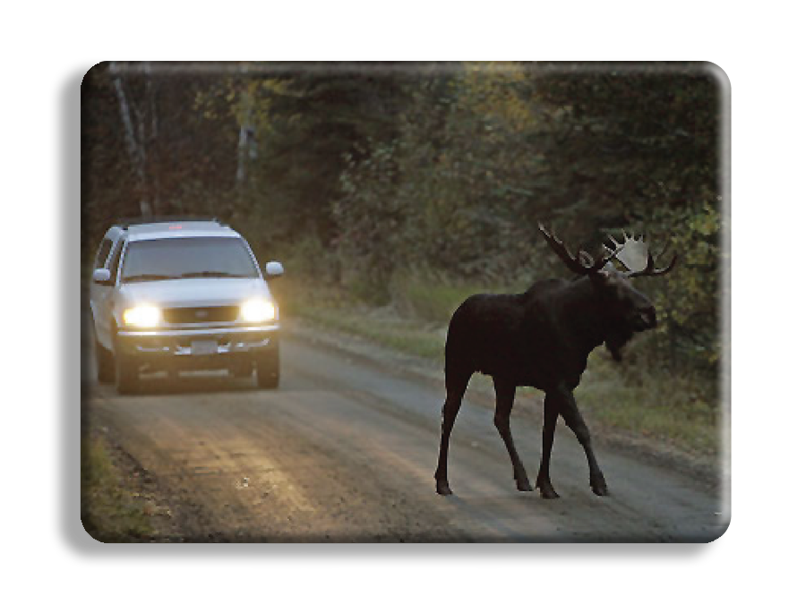 Moose in road at dusk